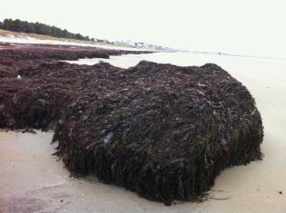 Seaweed Ogunquit Beach